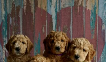 6 Dog Breeds Who Love to Cuddle the Most