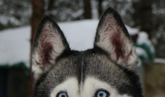 Is it True that Siberian Huskies Aren't Loyal to their Owners?