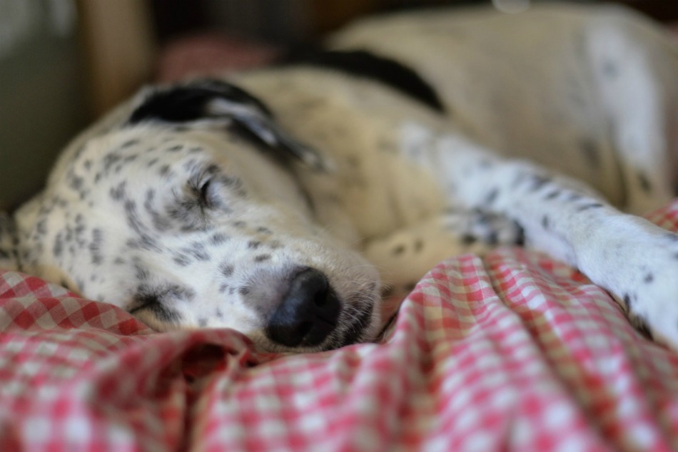 Why Putting Dogs To Sleep Is So Common Dogvills