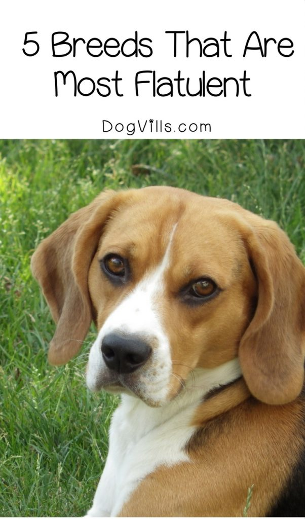 5 Dogs Breeds That Pass The Most Gas And Why Dogvills