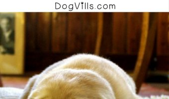 4 Foolproof Steps to Get Rid of Dog Urine Smell in Carpets