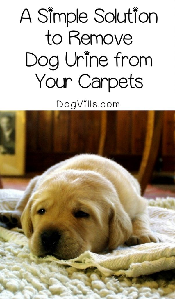 4 Foolproof Steps To Get Rid Of Dog Urine Smell In Carpets Dogvills