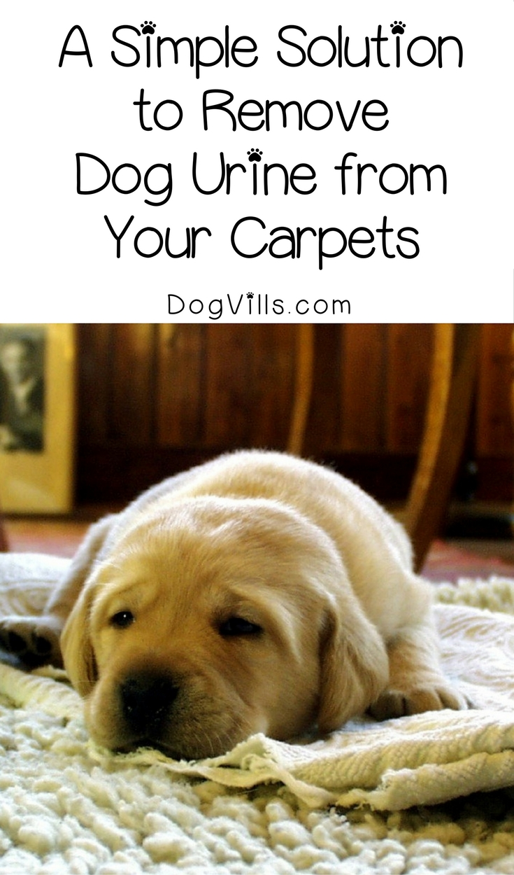 remove dog urine smell from carpet carpet vidalondon. Black Bedroom Furniture Sets. Home Design Ideas