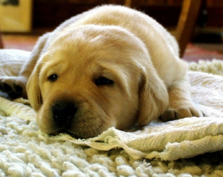 how to get rid of dog wee smell on carpet