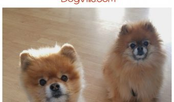 Have you ever seen a dog do a handstand? Check out today's dog news story about Jiff the Pomeranian and you will!