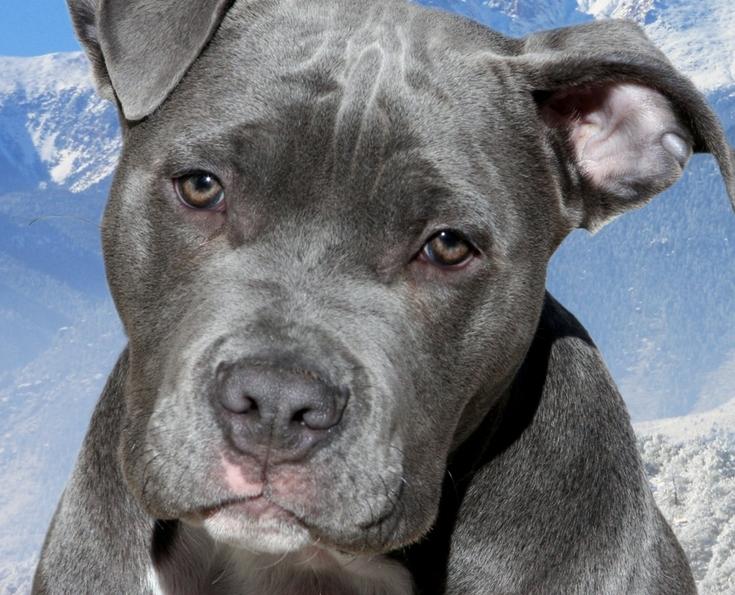 Blue Nose Pitbull Show Dogs
