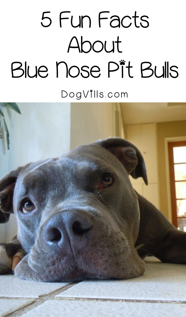 5 Fun Facts About Blue Nose Pit Bulls Dogvills