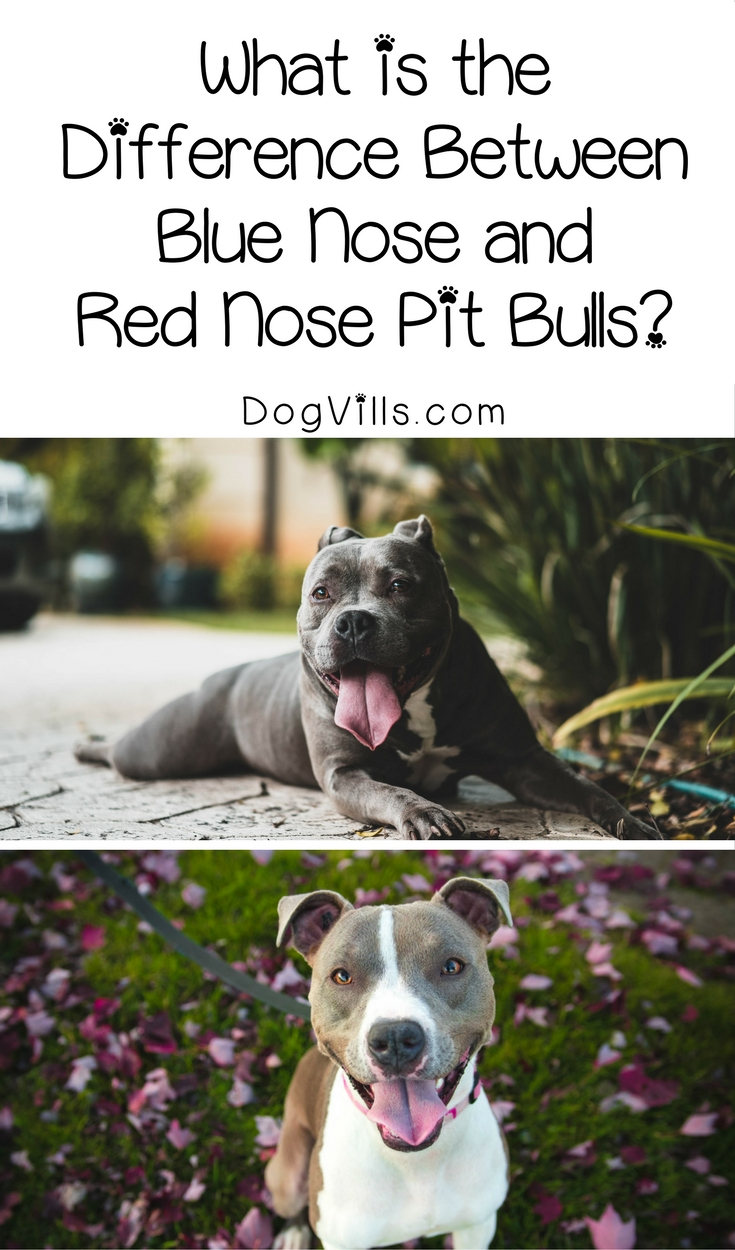 What is the Difference Between Blue Nose and Red Nose Pit Bulls?