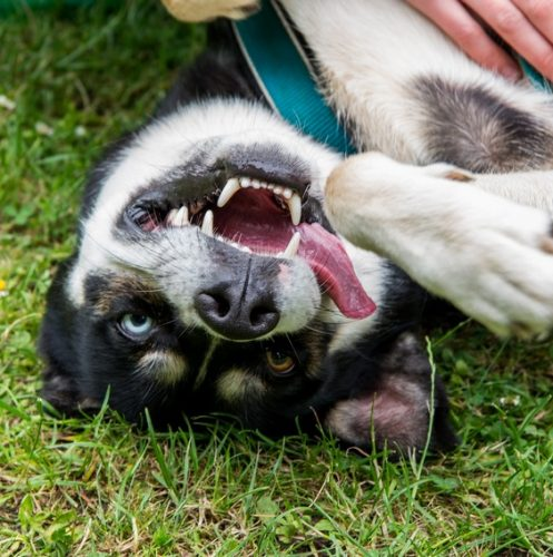 Raising a husky/border collie mix is a challenge if you don't understand the breeds. Check out 5 tips that EVERY dog parent can use!