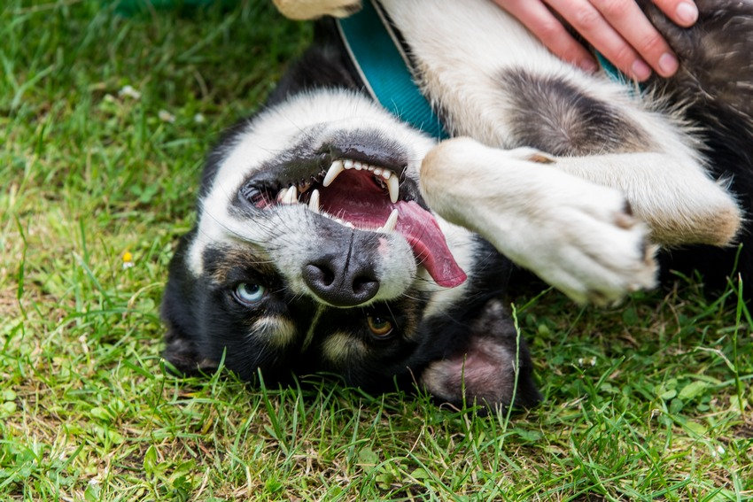 5 Ultimate Tips For Raising A Husky/Border Collie Mix ...