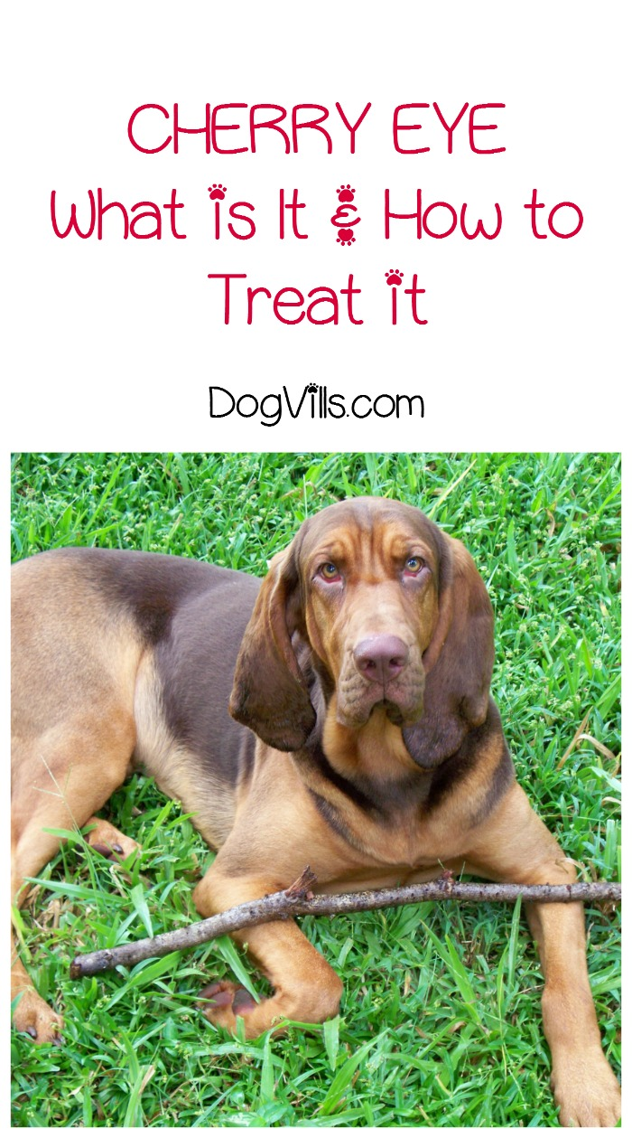 What is Cherry Eye in Dogs & How Do You Treat It?