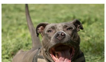 How big do female pit bulls get? Check out our guide to size, weight and the factors that play a role in APBT size.