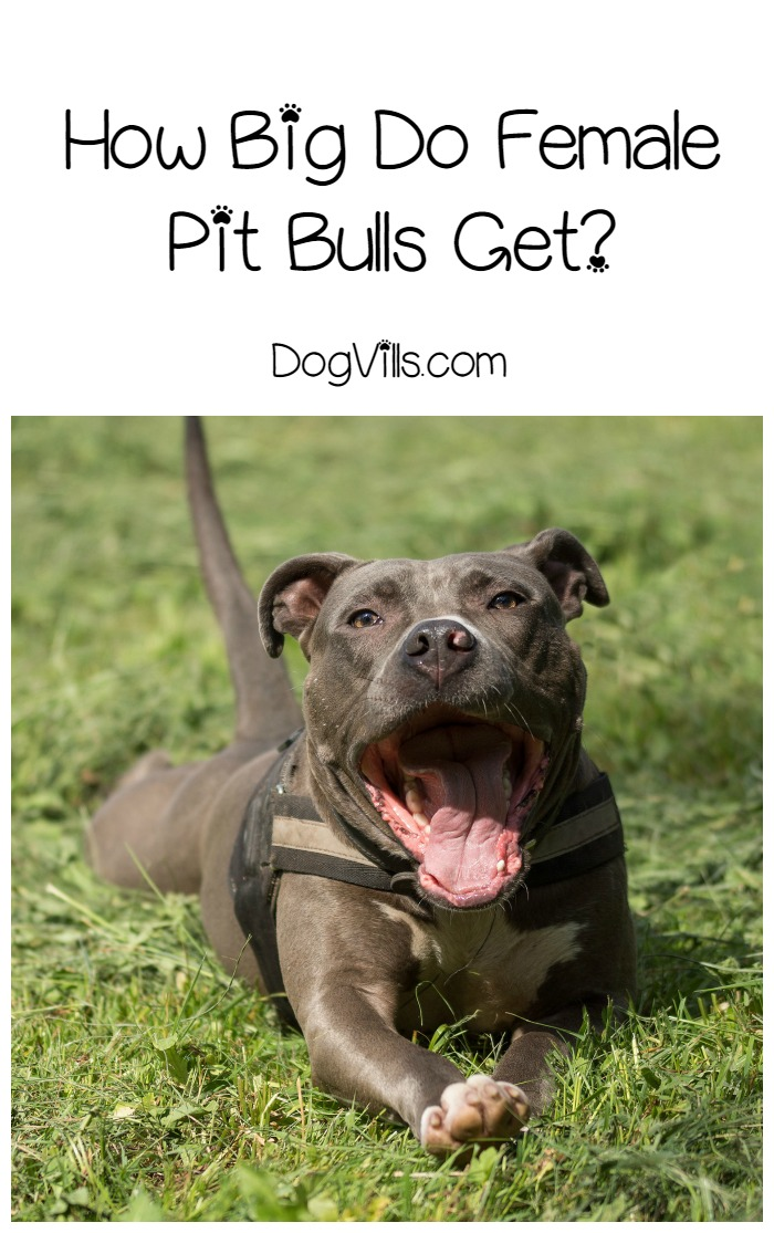 How Does A Female Pit Bull Get