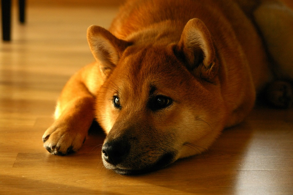 Dog Like Shiba Inu That Are Hypoallergenic