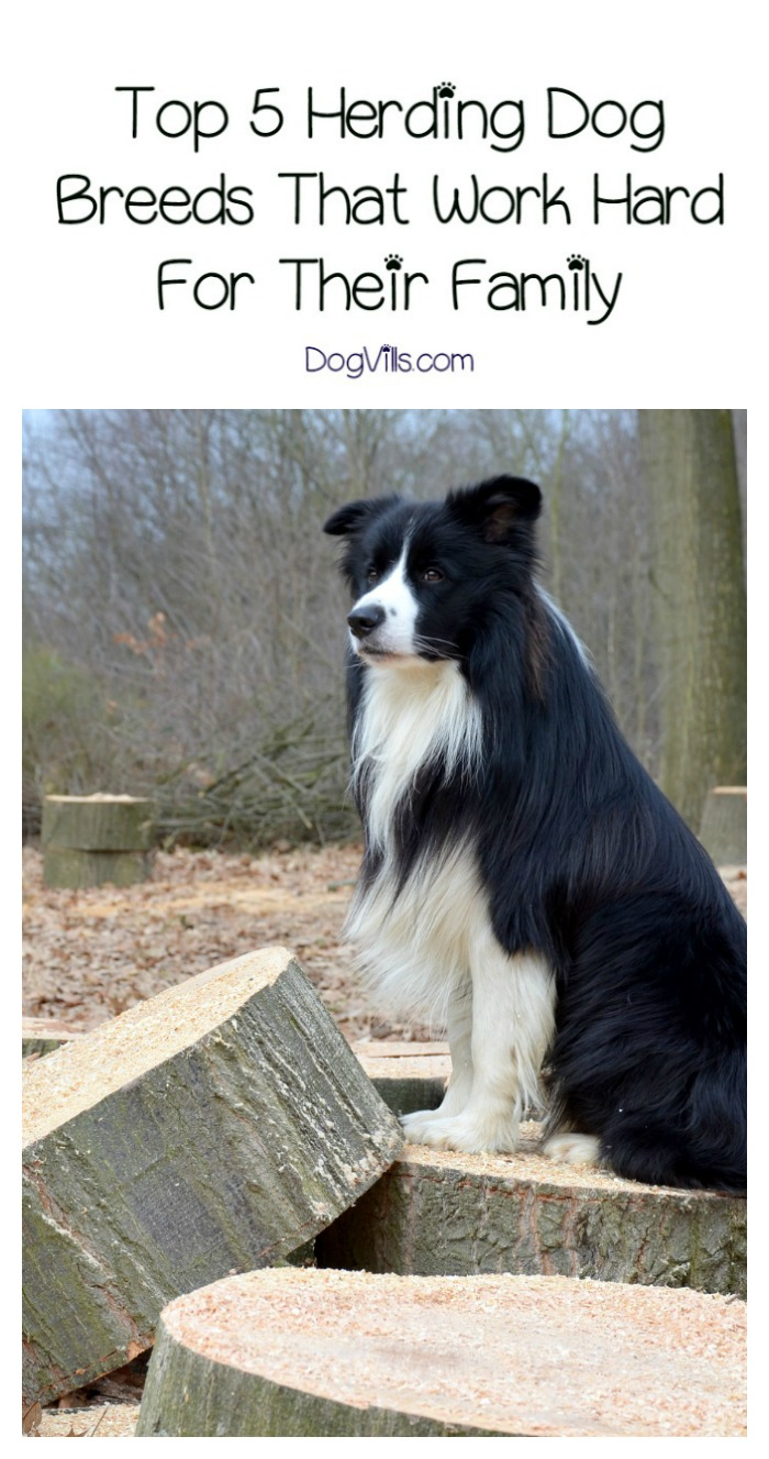 Top 5 Herding Dog Breeds That Work Hard For Their Family
