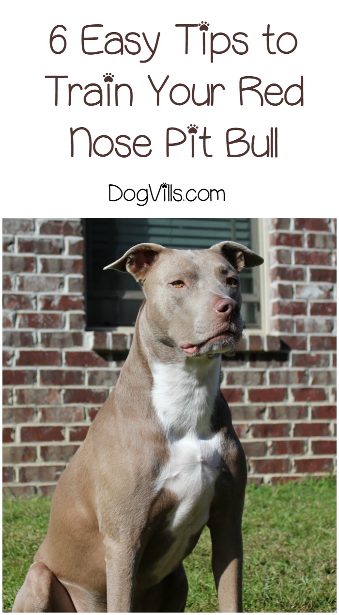 6 Easy Tips for How to Train Your Red Nose Pit Bull