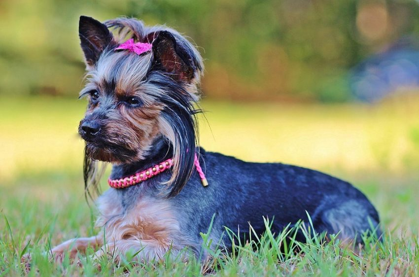 From 'tudes to tails, there are just some things that only Yorkie moms can really understand! Check out our top 10 list!