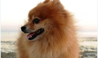 How perfect are these 10 Pomeranian dog names? The hardest part is deciding which to go with! Guess you'll just have to get 10 dogs! Just kidding…sort of!