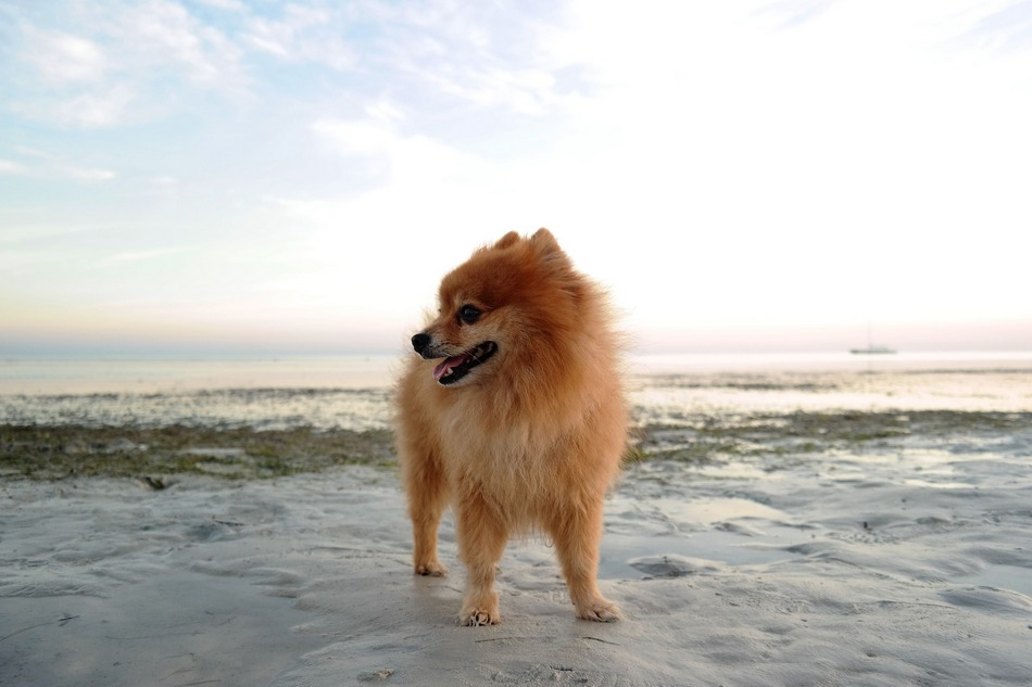 10 Perfect Pomeranian Dog Names Full of Personality- DogVills