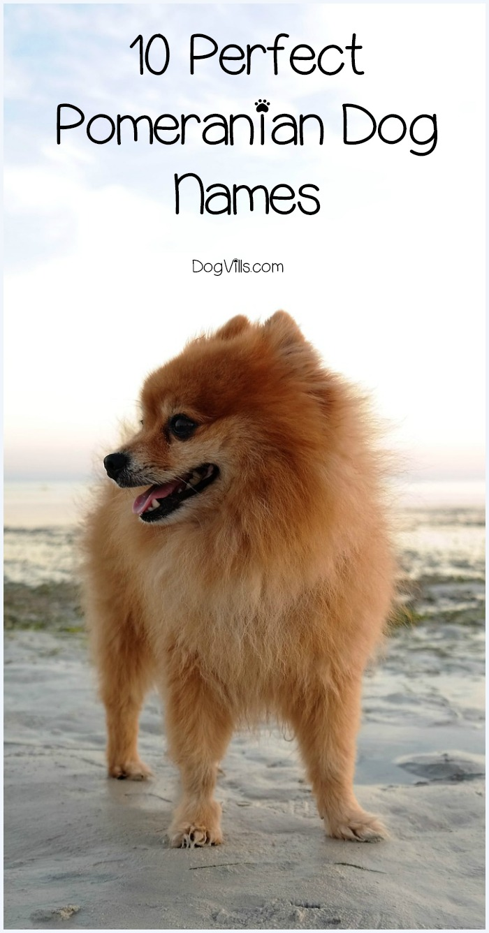 10 Perfect Pomeranian Dog Names That Are Full of Personality
