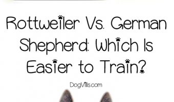 Rottweilers vs. German Shepherds: which dog breed is easier to train? Let's take a look at their personalities to find out!