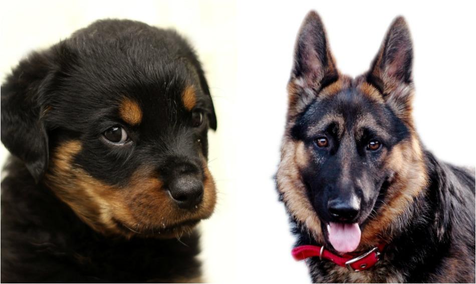 Rottweiler Vs German Shepherd Which Is Easier To Train