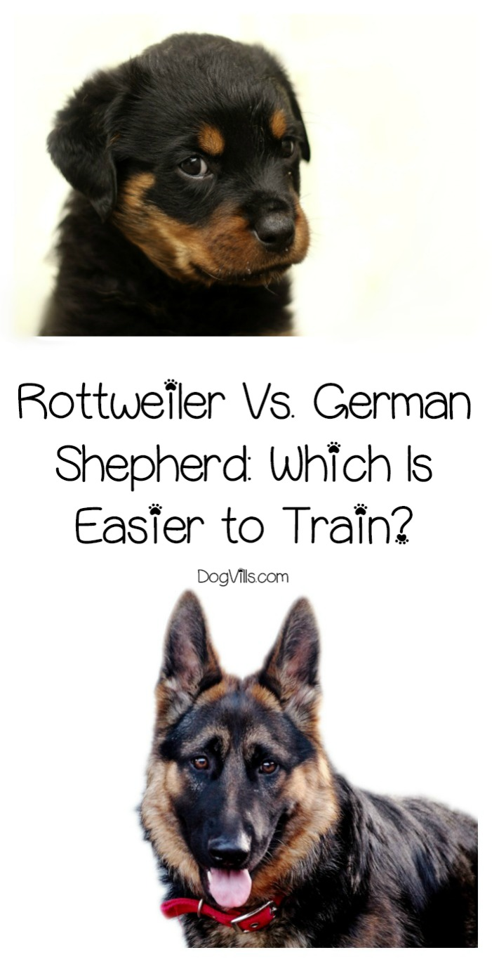 Rottweilers Vs. German Shepherds: Which Dog Breed Is Easier to Train?