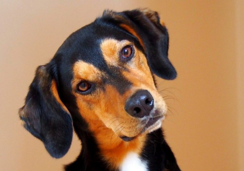 Can dogs have flea allergies? You betcha! Find out how those nasty little critters can affect your precious pup and what to do about it!