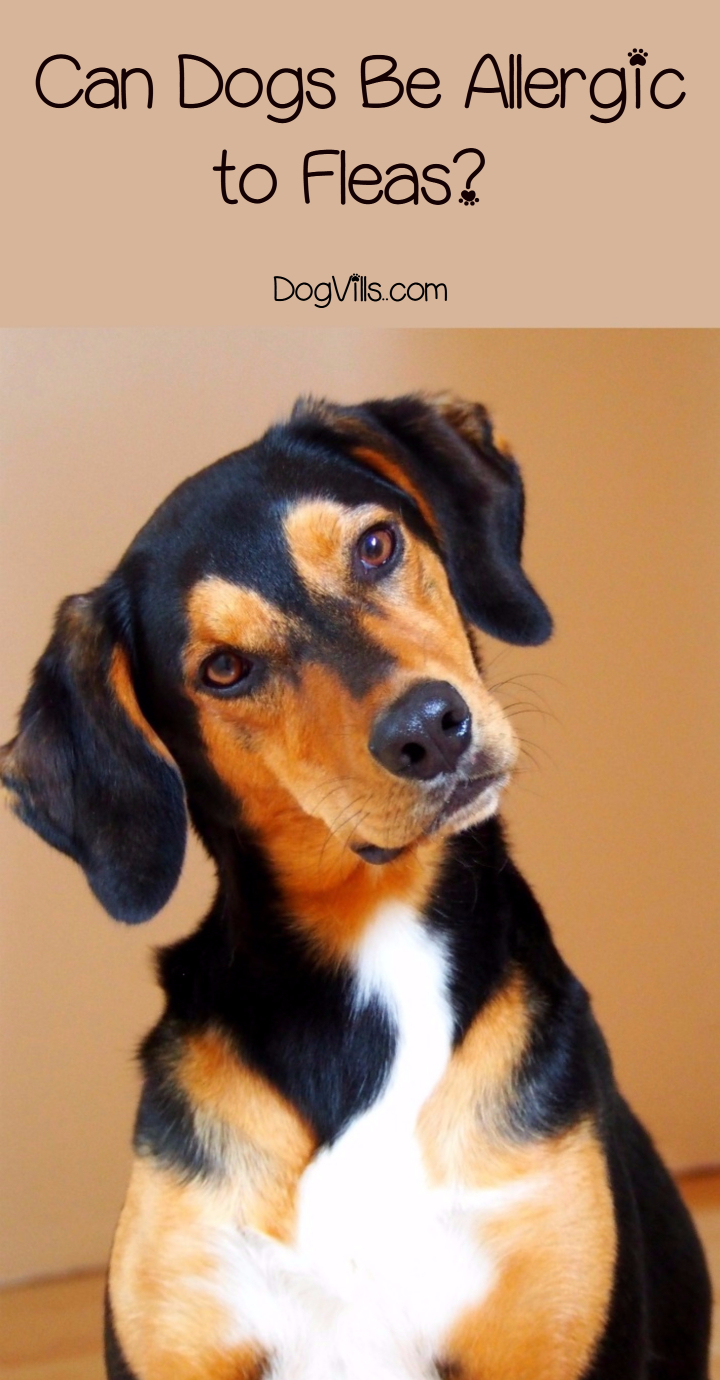 Everything You Need to Know About Dogs & Flea Allergies