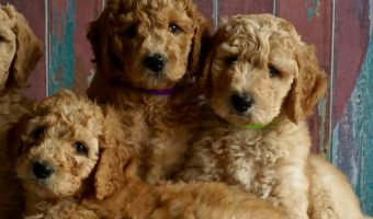 Littermates – Is it Wise to Bring Home Siblings