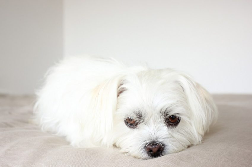 Do you know these eight most common Shih Tzu eye problems that you need to watch out for? Check them out and keep your pup's vision healthy!