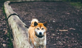 These Are the Top 11 Dogs That Look Like Foxes & Wolves
