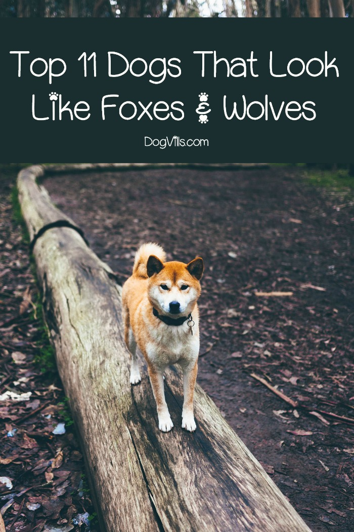 top 11 dogs that look like foxes amp wolves dogvills