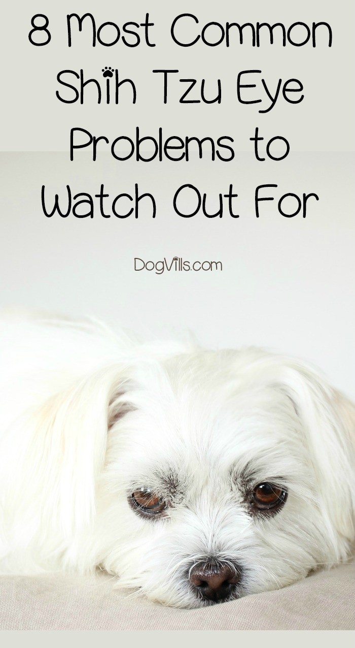 8 Most Common Shih Tzu Eye Problems To Watch Out For Dogvills