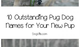 Need some great pug dog names to put into the hat for your sweet new pup? Check out these 10 darling ideas for boys and girls!