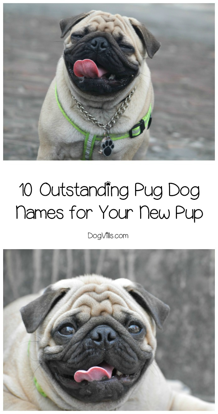 10 Outstanding Pug Dog Names for Your Sweet Pooch