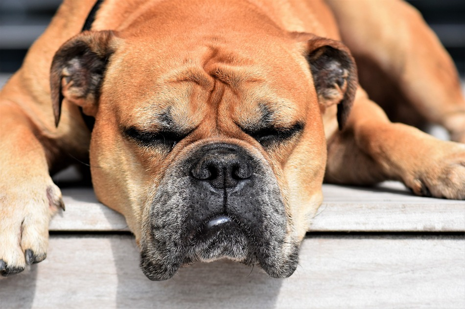 Why Do Dogs Like To Sleep With Their Heads Hanging Dogvills