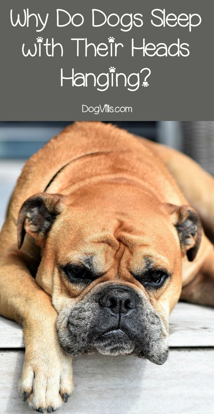 Why Do Dogs Like to Sleep with Their Heads Hanging?