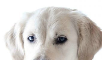 Top 5 Reasons Why Labradors Make Great Service Dogs