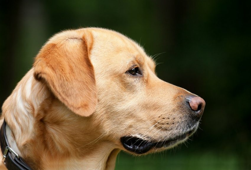 5 Least Stubborn Dog Breeds: Labrador Retriever