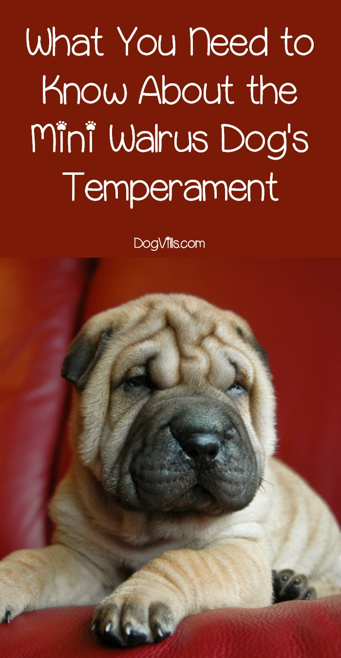 What Type of Temperament Does the Mini Walrus Dog Have?
