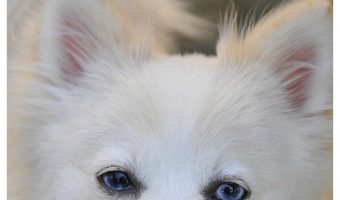 """Looking for answers to questions like """"What is the life expectancy of a Pomchi"""" and """"is this breed's temperament right for me? Find them here!"""
