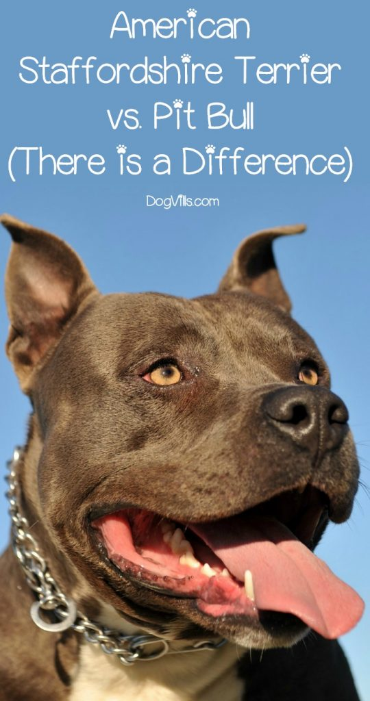 American Staffordshire Terrier vs., The Pit Bull - DogVills