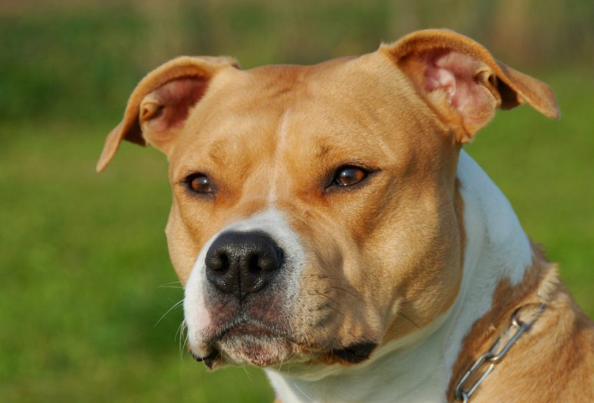 Not all Bully breeds are created equally. So what's the difference between an American Staffordshire Terrier vs, the Pit Bull? Find out.