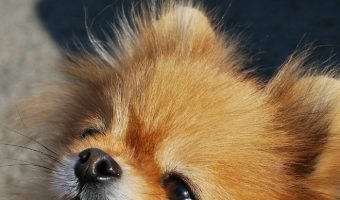 30 Crazy Cute Pictures & Videos of Darling Pomchi Dogs