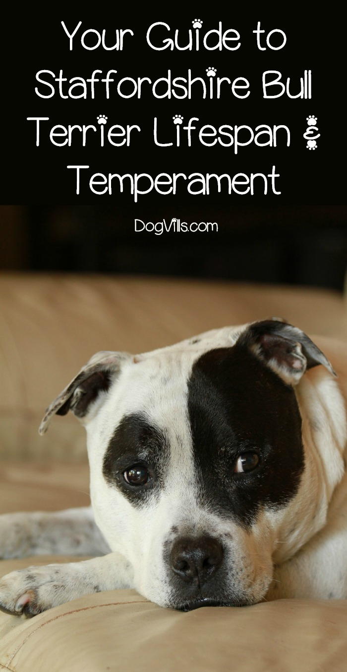 Staffordshire Bull Terrier Lifespan & Temperament (The Good, the Bad and the Different)