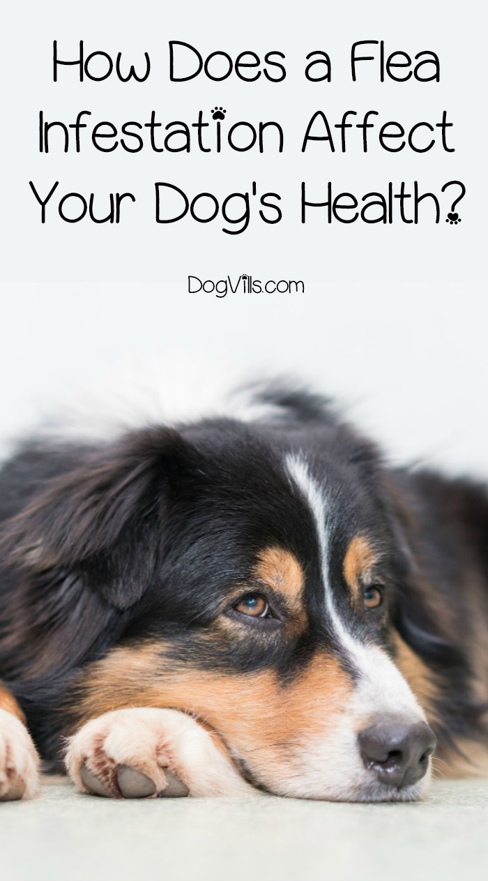 How Does a Flea Infestation Affect Your Dog's Health?