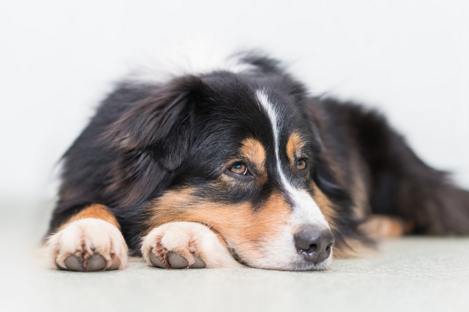How is my dog's health affected when he is infested with fleas? Learn about flea infestation health risks and what you can do to prevent them!