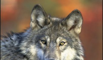 10 Dog Breeds That Look Like a Wolf