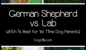 German Shepherd Vs Labrador: Which is Better for First-Time Owners?
